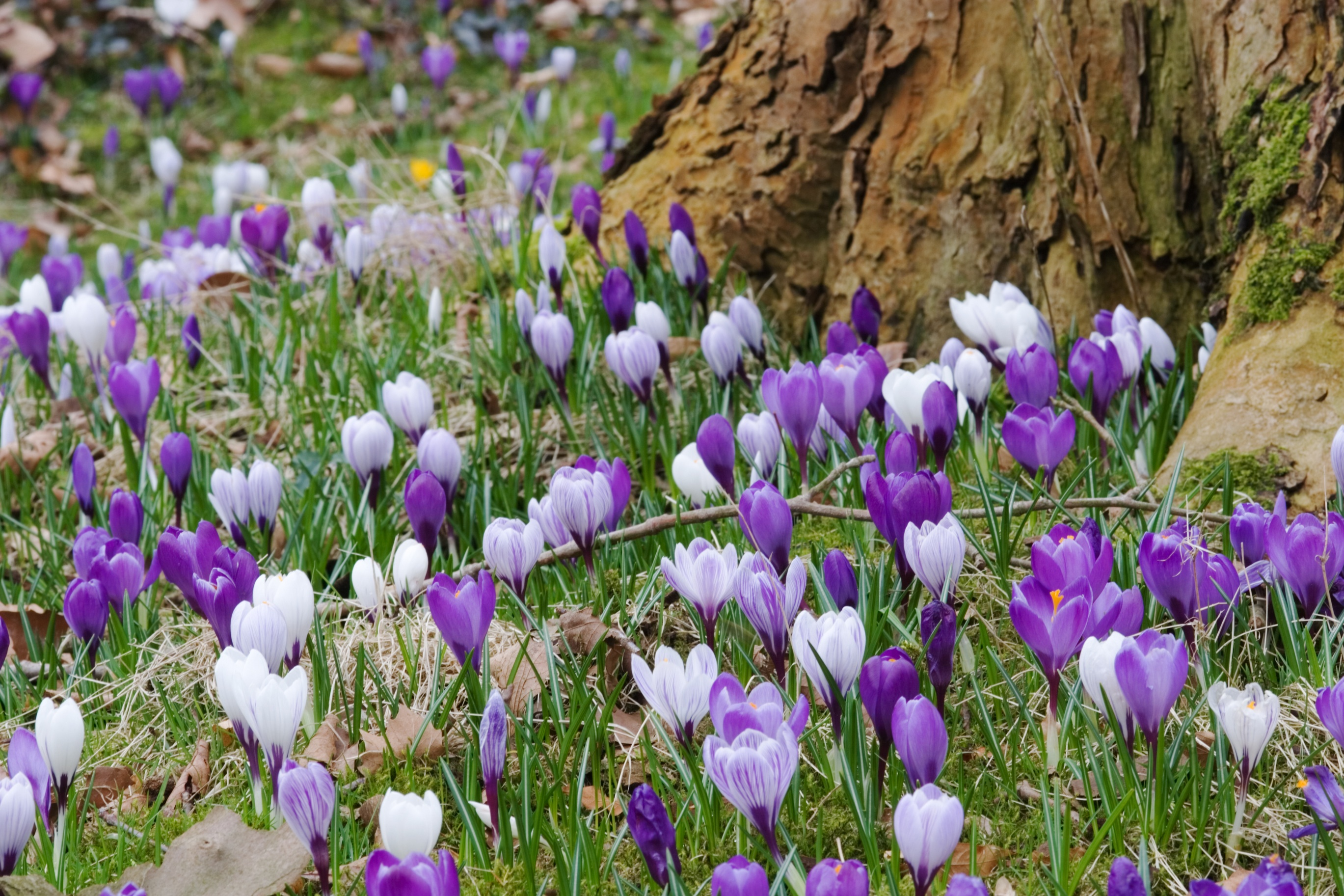how to keep squirrels away from crocus bulbs