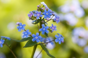 Forget me nots in a NYC Tree Pit Fence