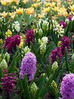 Hyacinths fall flowers to add inside your Curb Allure tree guard pit